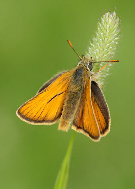 Small skipper Close up,colours,color,colors,Colour,Green background,Macro,macrophotography,coloration,Colouration,orange,peach,Small skipper,Animalia,Arthropoda,Insecta,Lepidoptera,Hesperiidae,Thymelicus sylvestris