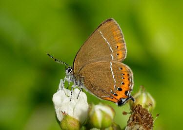 Black hairstreak Animalia,Arthropoda,Insecta,Lepidoptera,Lycaenidae,Satyrium,Satyrium pruni,Black hairstreak,butterfly,butterflies