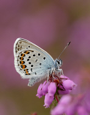 Silver-studded blue coloration,Colouration,blur,selective focus,blurry,depth of field,Shallow focus,blurred,soft focus,patterns,patterned,Pattern,spotty,spot,Spots,spotted,Macro,macrophotography,Close up,Silver-studded b
