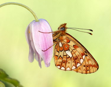 Pearl-bordered fritillary floral,Flower,Close up,coloration,Colouration,petals,corolla,flower petals,corollas,flower petal,Petal,Macro,macrophotography,colours,color,colors,Colour,pink,Pearl-bordered fritillary,Animalia,Arthro