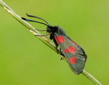 Narrow-bordered five-spot burnet Narrow-bordered five-spot burnet,Animalia,Athropoda,Insecta,Lepidoptera,Zygaenidae,Zygaena lonicerae