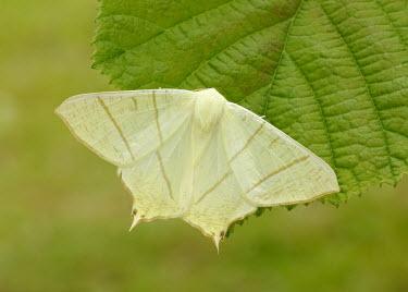 Swallow-tailed moth Animalia,Athropoda,Insecta,Lepidoptera,Geometridae,Ourapteryx sambucaria,moth,moths,Swallow-tailed moth