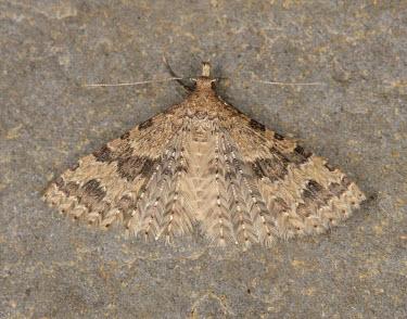 Twenty-plume moth Animalia,Athropoda,Insecta,Lepidoptera,Alucitidae,Alucita hexadactyla,moth,moths,Twenty-plume moth