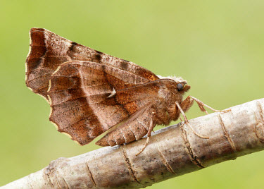 Early thorn Close up,Macro,macrophotography,blur,selective focus,blurry,depth of field,Shallow focus,blurred,soft focus,Early thorn,moth,moths,Animalia,Athropoda,Insecta,Lepidoptera,Geometridae,Selenia dentaria