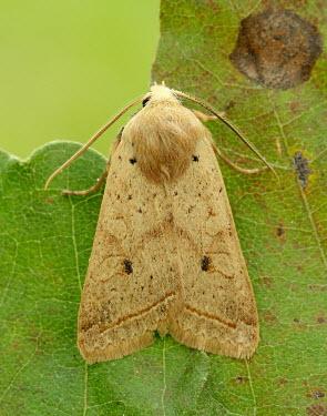 Yellow-line quaker Animalia,Athropoda,Insecta,Lepidoptera,Noctuidae,Agrochola macilenta,moth,moths,Yellow-line quaker