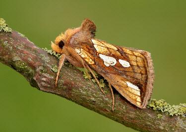 Gold spot Gold spot,moth,moths,Animalia,Arthropoda,Insecta,Lepidoptera,Noctuidae,Plusia,Plusia festucae