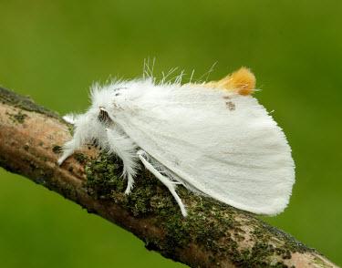Yellow-tail Animalia,Athropoda,Insecta,Lepidoptera,Noctuoidea,Erebidae,Euproctis similis,moth,moths,Yellow-tail,Goldtail moth,Swan moth