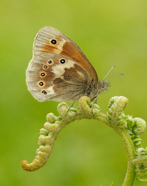 Large heath Large heath,Animalia,Arthropoda,Insecta,Lepidoptera,Nymphalidae,Coenonympha tullia,large heath,common ringlet,butterfly,butterflies,Brush-Footed Butterflies,Butterflies, Skippers, Moths,Arthropods,Ins