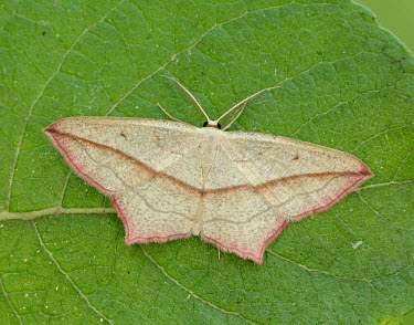 Blood-vein Blood-vein,Animalia,Arthropoda,Insecta,Lepidoptera,Geometridae,Timandra,Timandra comae,moth,moths
