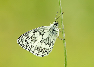 Marbled white Macro,macrophotography,blur,selective focus,blurry,depth of field,Shallow focus,blurred,soft focus,floral,Flower,Close up,Marbled white,Animalia,Arthropoda,Insecta,Lepidoptera,Nymphalidae,Melanargia g