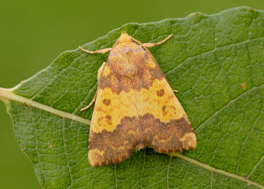 Barred sallow Barred sallow,Animalia,Arthropoda,Insecta,Lepidoptera,Noctuidae,Tiliacea,Tiliacea aurago,moth,moths