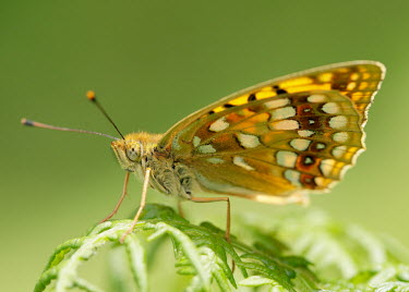 High brown fritillary blur,selective focus,blurry,depth of field,Shallow focus,blurred,soft focus,Macro,macrophotography,Close up,butterfly,butterflies,High brown fritillary,Argynnis adippe,Nymphalidae,Brush-Footed Butterf