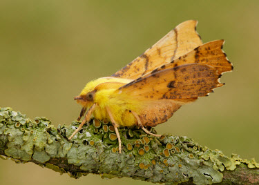 Canary-shouldered thorn Close up,yellow,colours,color,colors,Colour,coloration,Colouration,blur,selective focus,blurry,depth of field,Shallow focus,blurred,soft focus,Macro,macrophotography,Green background,Canary-shouldered