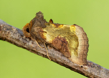 Burnished brass Animalia,Arthropoda,Insecta,Lepidoptera,Noctuidae,Diachrysia,Diachrysia chrysitis,moth,moths,Burnished brass