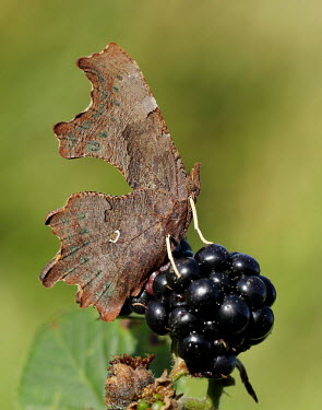 Comma Macro,macrophotography,Close up,blur,selective focus,blurry,depth of field,Shallow focus,blurred,soft focus,butterfly,butterflies,Comma,Polygonia c-album,Insects,Insecta,Nymphalidae,Brush-Footed Butte