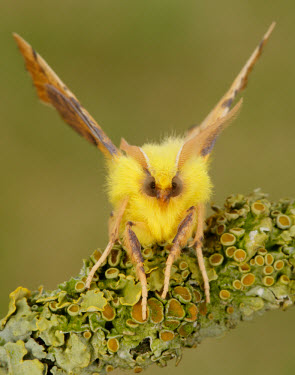 Canary-shouldered thorn Canary-shouldered thorn,Animalia,Arthropoda,Insecta,Lepidoptera,Geometridae,Ennomos,Ennomos alniaria,moth,moths