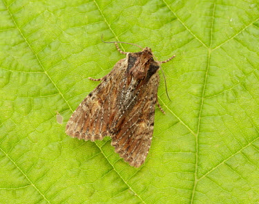 Clouded-bordered brindle Clouded-bordered brindle,Animalia,Arthropoda,Insecta,Lepidoptera,Noctuidae,Apamea crenata,moth,moths