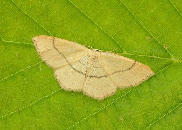 Clay triple-lines Clay triple-lines,Animalia,Arthropoda,Insecta,Lepidoptera,Geometridae,Cyclophora linearia