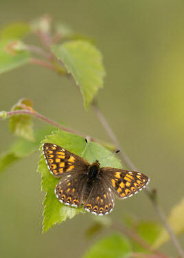 Duke of Burgundy butterfly,butterflies,Duke of Burgundy,Hamearis lucina,Riodinidae,Metalmark Butterflies,Insects,Insecta,Arthropoda,Arthropods,Lepidoptera,Butterflies, Skippers, Moths,Herbivorous,Forest,Flying,Terrest
