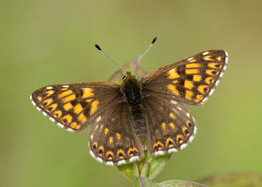 Duke of Burgundy Close up,Macro,macrophotography,blur,selective focus,blurry,depth of field,Shallow focus,blurred,soft focus,butterfly,butterflies,Duke of Burgundy,Hamearis lucina,Riodinidae,Metalmark Butterflies,Inse