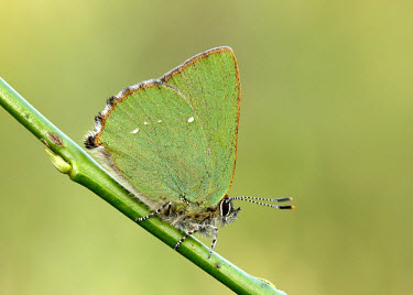 Green hairstreak blur,selective focus,blurry,depth of field,Shallow focus,blurred,soft focus,Close up,Macro,macrophotography,butterfly,butterflies,Green hairstreak,Callophrys rubi,Insects,Insecta,Lepidoptera,Butterfli