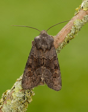 Deep brown dart blur,selective focus,blurry,depth of field,Shallow focus,blurred,soft focus,Close up,Macro,macrophotography,Animalia,Arthropoda,Insecta,Lepidoptera,Noctuidae,Aporophyla lutulenta,moth,moths,Deep brown