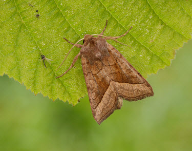 Rosy rustic Rosy rustic,Animalia,Athropoda,Insecta,Lepidoptera,Noctuidae,Hydraecia micacea,moth,moths