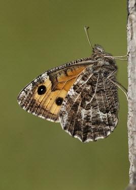 Grayling Close up,Macro,macrophotography,blur,selective focus,blurry,depth of field,Shallow focus,blurred,soft focus,Animalia,Athropoda,Insecta,Lepidoptera,Nymphalidae,Hipparchia semele,grayling,moth,moths,Gra