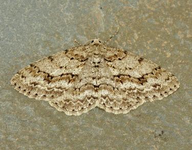 Engrailed Engrailed,moth,moths,Animalia,Athropoda,Insecta,Lepidoptera,Geometridae,Ectropis crepuscularia