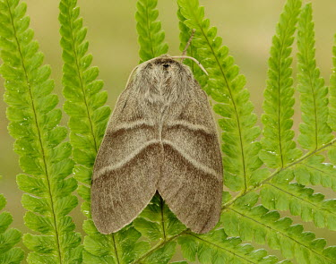 Fox moth Close up,blur,selective focus,blurry,depth of field,Shallow focus,blurred,soft focus,Macro,macrophotography,Fox moth,Animalia,Athropoda,Insecta,Lepidoptera,Lasiocampidae,Macrothylacia rubi,moth,moths