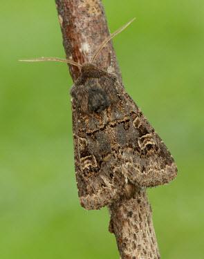 Hedge rustic Animalia,Athropoda,Insecta,Lepidoptera,Noctuidae,Tholera cespitis,Hedge rustic,moth,moths