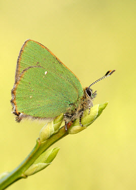 Green hairstreak Macro,macrophotography,blur,selective focus,blurry,depth of field,Shallow focus,blurred,soft focus,Close up,butterfly,butterflies,Green hairstreak,Callophrys rubi,Insects,Insecta,Lepidoptera,Butterfli