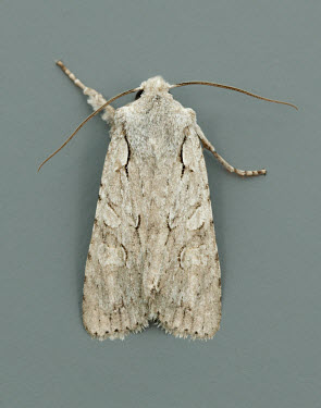 Grey shoulder-knot Animalia,Athropoda,Insecta,Lepidoptera,Noctuidae,Lithophane�ornitopus,Grey shoulder-knot,moth,moths