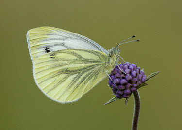 Green-veined white butterfly,butterflies,Green-veined white,Pieris napi,Arthropoda,Arthropods,Lepidoptera,Butterflies, Skippers, Moths,Insects,Insecta,Whites, Sulphurs, Orange-tips,Pieridae,Terrestrial,Temperate,Heathla