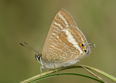 Long-tailed blue butterfly,butterflies,Long-tailed blue,Lampides boeticus,Coppers, Hairstreaks,Lycaenidae,Insects,Insecta,Lepidoptera,Butterflies, Skippers, Moths,Arthropoda,Arthropods,Bean butterfly,Europe,Africa,Aus