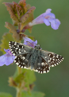 Grizzled Skipper Close up,blur,selective focus,blurry,depth of field,Shallow focus,blurred,soft focus,Macro,macrophotography,Animalia,Arthropoda,Insecta,Lepidoptera,Hesperiidae,Pyrgus malvae,Grizzled skipper,butterfly