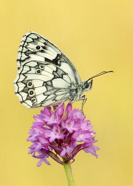 Marbled white Close up,Macro,macrophotography,floral,Flower,blur,selective focus,blurry,depth of field,Shallow focus,blurred,soft focus,Marbled white,Animalia,Arthropoda,Insecta,Lepidoptera,Nymphalidae,Melanargia g
