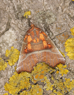 Herald Herald,Animalia,Athropoda,Insecta,Lepidoptera,Erebidae,Scoliopteryx libatrix,moth,moths
