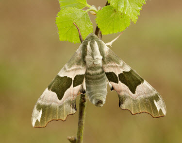 Lime hawk-moth hidden,crypsis,Camouflage,camo,disguise,disguised,camouflaged,Close up,wings,wing,winged,blur,selective focus,blurry,depth of field,Shallow focus,blurred,soft focus,Macro,macrophotography,coloration,C