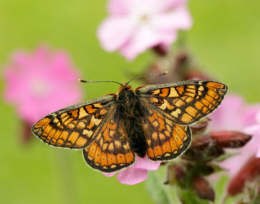 Marsh fritillary butterfly,butterflies,Marsh fritillary,Euphydryas aurinia,Arthropoda,Arthropods,Insects,Insecta,Nymphalidae,Brush-Footed Butterflies,Lepidoptera,Butterflies, Skippers, Moths,Heathland,Temperate,STAT_H