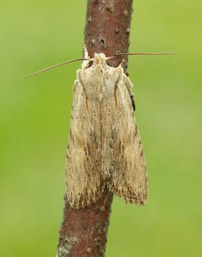 Pale pinion Animalia,Athropoda,Insecta,Lepidoptera,Noctuidae,Lithophane socia,Pale pinion,moth,moths
