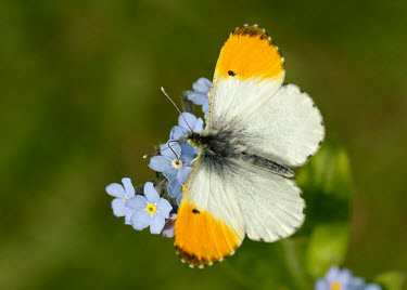 Orange-tip butterfly,butterflies,Orange-tip,Anthocharis cardamines,Insects,Insecta,Whites, Sulphurs, Orange-tips,Pieridae,Lepidoptera,Butterflies, Skippers, Moths,Arthropoda,Arthropods,Anthocharis,Europe,Urban,A