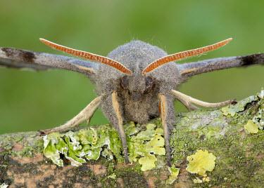 Poplar hawk-moth Macro,macrophotography,Close up,antennas,Antenna,feeler,feelers,antennae,Poplar hawk-moth,Poplar hawkmoth,hawk moth,moth,moths,Animalia,Arthropoda,Insecta,Lepidoptera,Sphingidae,Laothoe populi