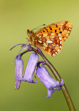 Pearl-bordered fritillary floral,Flower,colours,color,colors,Colour,petals,corolla,flower petals,corollas,flower petal,Petal,coloration,Colouration,Close up,violet,indigo,Purple,Macro,macrophotography,Pearl-bordered fritillary