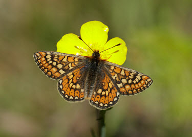 Marsh fritillary floral,Flower,Macro,macrophotography,Close up,butterfly,butterflies,Marsh fritillary,Euphydryas aurinia,Arthropoda,Arthropods,Insects,Insecta,Nymphalidae,Brush-Footed Butterflies,Lepidoptera,Butterfli