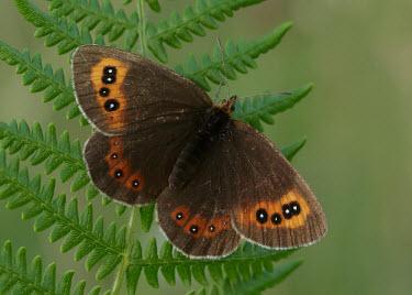 Scotch argus Scotch argus,butterflies,butterfly,Animalia,Arthropoda,Insecta,Lepidoptera,Nymphalidae,Erebia aethiops
