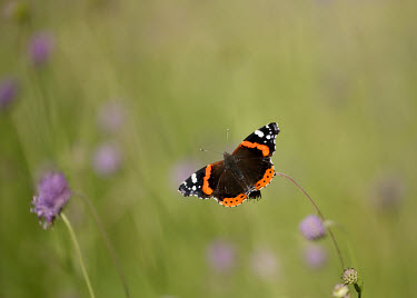 Red admiral Terrestrial,ground,blur,selective focus,blurry,depth of field,Shallow focus,blurred,soft focus,action,movement,move,Moving,in action,in motion,motion,environment,ecosystem,Habitat,wildflower meadow,Me
