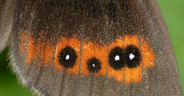 Scotch argus patterns,patterned,Pattern,coloration,Colouration,spotty,spot,Spots,spotted,Close up,Macro,macrophotography,leaf,leafy,Leafy background,leaves,Greenery,foliage,vegetation,Scotch argus,butterflies,butt