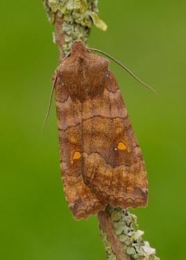 Satellite Animalia,Athropoda,Insecta,Lepidoptera,Noctuidae,Eupsilia transversa,moth,moths,Satellite