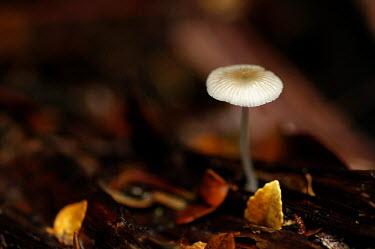 Mushroom growing from leaf litter Fungi,Basidiomycota,Agaricomycetes,Agaricales,mushroom,fungi,fungus,Mushroom